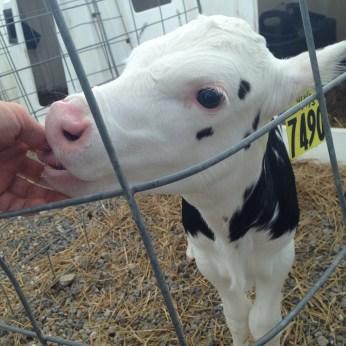 calf sucking thumb