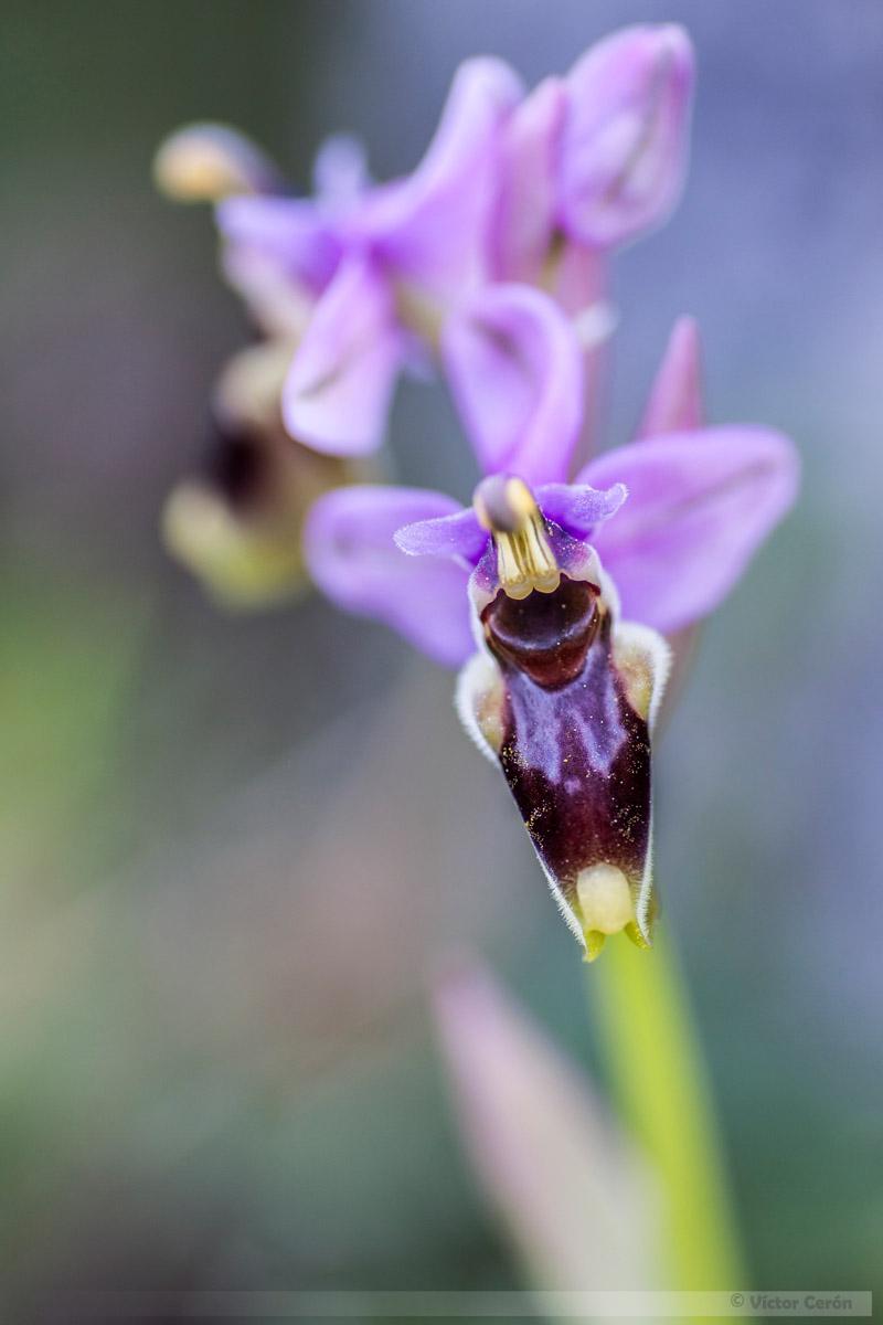 orquidea victor cerón
