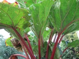 rhubarb2_enl