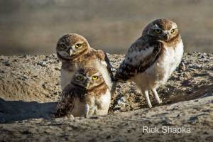 Burrowing Owl by Rick Shapka