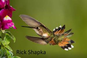 emale Rufous by Rick Shapka