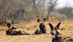 Wild Dogs in Southern Africa