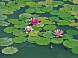 water-lilies-3199516_960_720