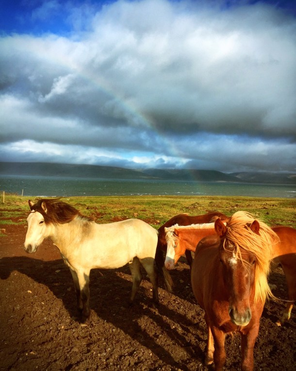 A rainbow is the backdrop for Icelandic horses in West Iceland. The Icelandic horse is unique in that it is descended from stock brought from Norway in the 9th Century, which have remained pure to this day.
