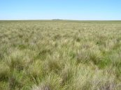 A poa  tussock grassland at Blacks Creek