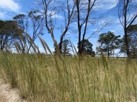 Spear Grass near Cape Clear