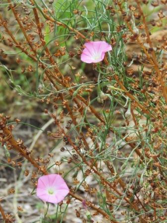 Pink bindweed and bulbine seed heads