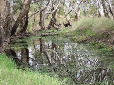 River Red gums at Streatham
