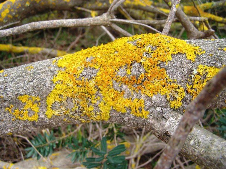 lichen on a banksia trunk