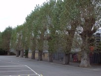 (7) Only survivors, this row of imprisoned trees