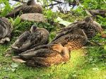 Jeff Ballin ducks