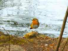 Colwick Park Robin