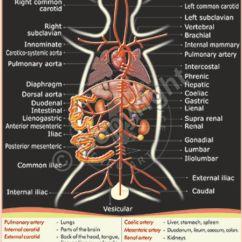 Internal Brain Diagram 2002 Ford Explorer Radio Wiring Victory Graphik   Z-24 Rabbit Arterial System