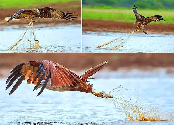 صور للطائر الذي وصفه الرسول بفاسق وهو يسرق سمك الصياد رأي