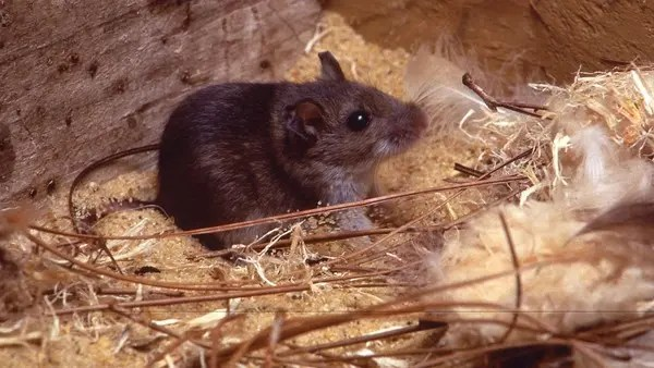 Chinese man dies from hantavirus as coronavirus pandemic slows ...