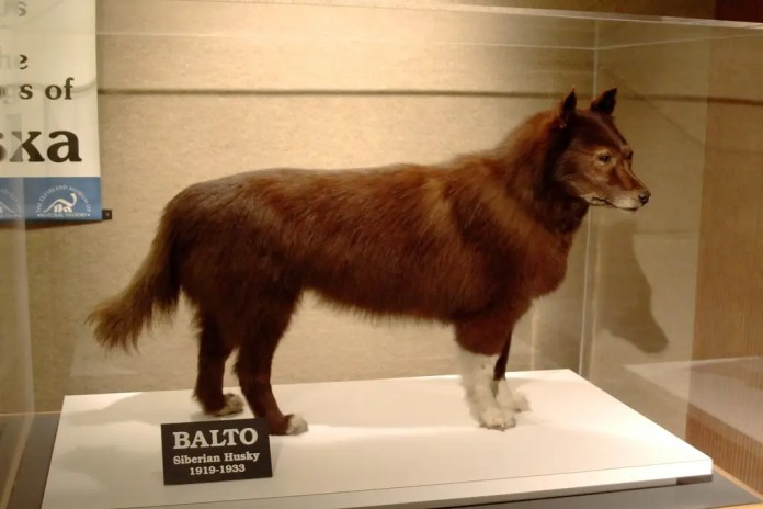Picture of the mummified corpse of a dog from the Balto, preserved in the Museum of Natural History, Cleveland