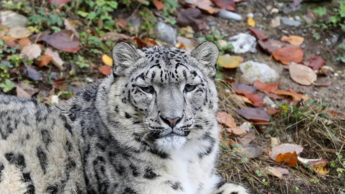 يلتقط نمر الثلج غير المحصن في حديقة حيوان سان دييغو COVID-19