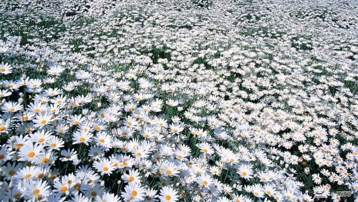 Margarida-Daisy-m_105443-jnto_Equinócio-da-Primavera-no-Japão-10-dicas-do-que-fazer-nessa-estação_Viajando-para-o-Japão_Vida-de-Tsuge-VDT