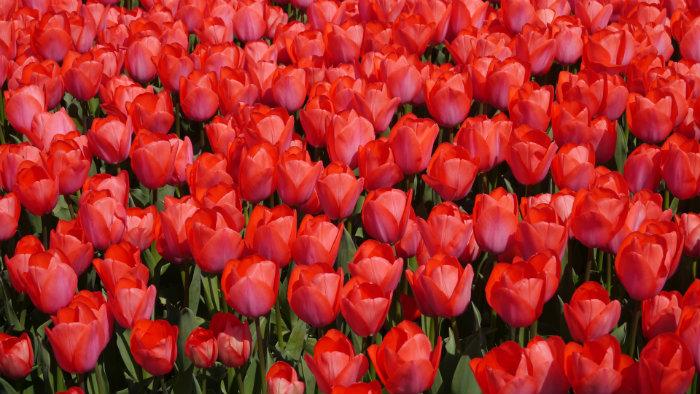 Tulip red - Primavera no Japão - Vida de Tsuge