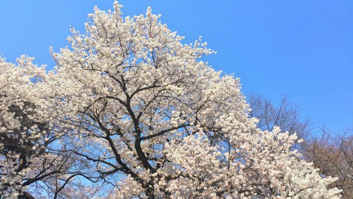 sakura branco 2200638_1920-jnto - Primavera no Japão - Vida de Tsuge