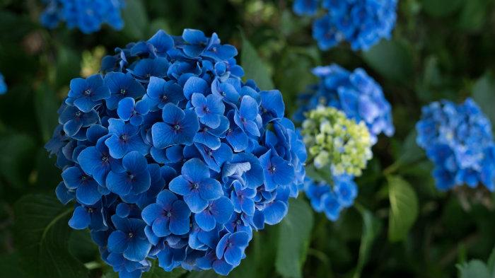 hortensia-hydrangea_4-símbolos-do-verão-japonês_Cultura-Japonesa_Vida-de-Tsuge_VDT
