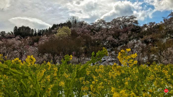 hanamiyama-park-8_explorando-o-japao_vida-de-tsuge_vdt