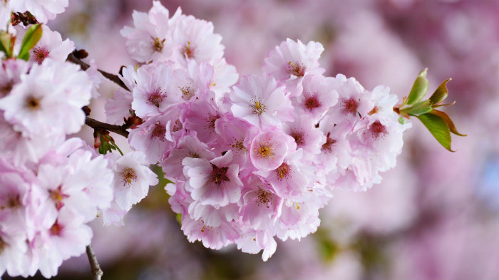 cherry-blossoms-3327498_1920_explorando-o-sakura-matsuri_viagem-japao_vida-de-tsuge-vdt