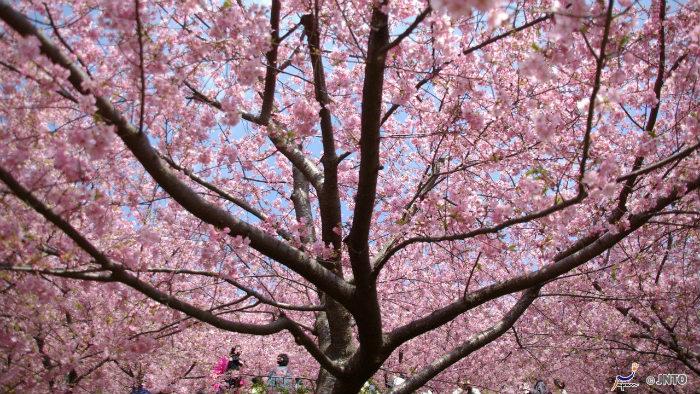 m_152077_explorando-o-sakura-matsuri_viagem-japao_vida-de-tsuge-vdt