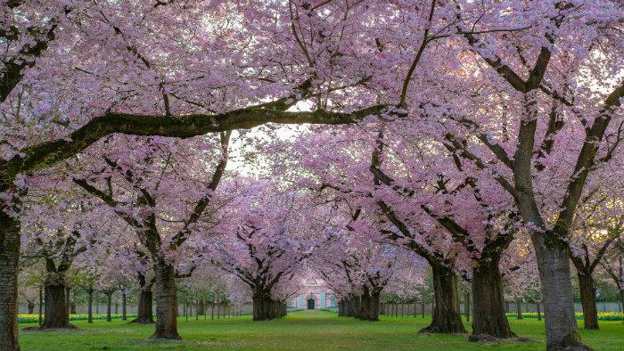 trees-4092265_1920_explorando-o-sakura-matsuri_viagem-japao_vida-de-tsuge-vdt