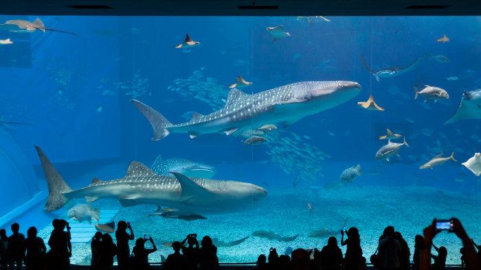 churaumi2_aquarios-no-japao_viagem-pro-japao_vida-de-tsuge_vdt