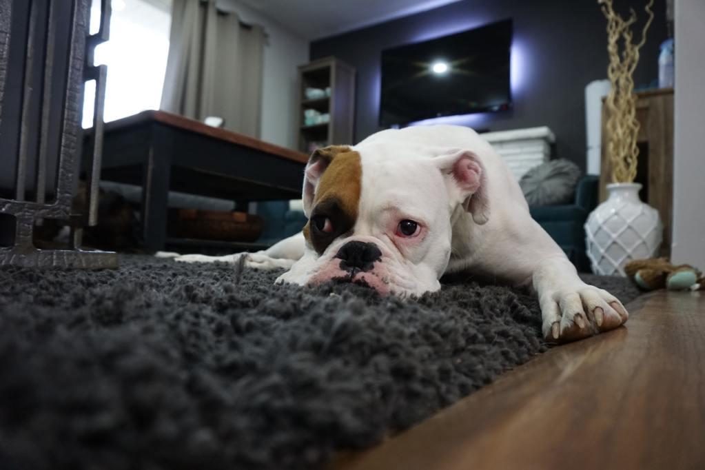 Cachorro deitado no meio da sala descansando