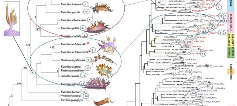 Flabellinidae grupo en controversia