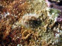 El molusco Diodora graeca, una especie presente en las piscinas del Forum