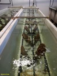 Nacra (Pinna nobilis) en tancs d'aïllament per Patricia Prado