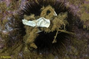 Deixalles Paracentrotus lividus amb tovalloletes i plàstics