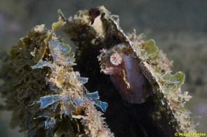 Pinna nobilis morta amb Ascidia mentula, Branchiomma sp, Dictyota dichotoma i Dictyota sp
