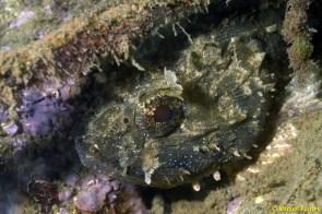 Scorpaena porcus