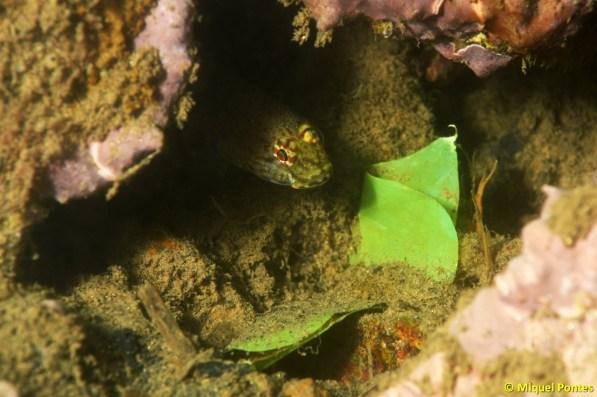 Gobius xanthocephalus con plástico