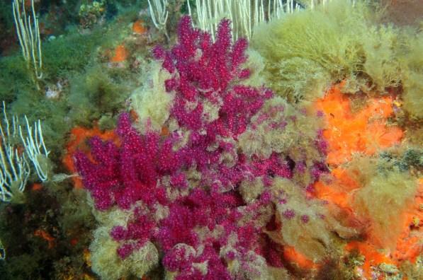 Paramuricea clavata cubierta de algas Acinetospora crinita