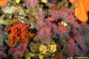 Corallium rubrum por Miquel Pontes