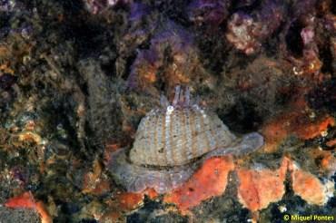 Anemona juvenil
