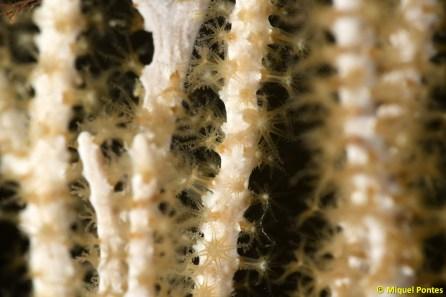 Eunicella singularis