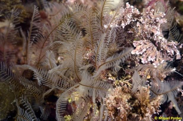 Aglaophenia pluma