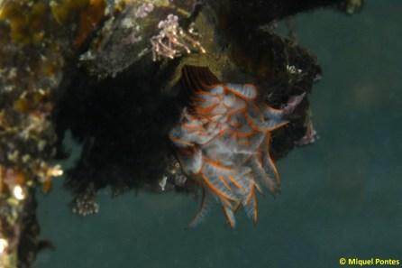 Branchioma luctuosum