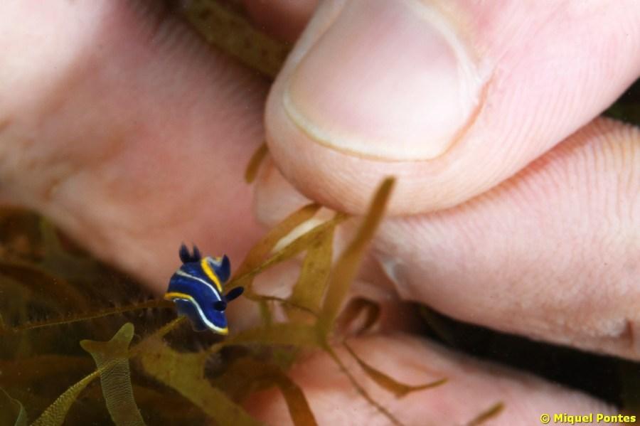 La mayor parte de los opistobranquios observados, como este Felimare tricolor, eran de pequeño tamaño.