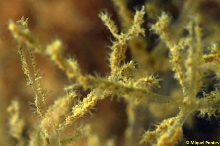 Amathia verticillata