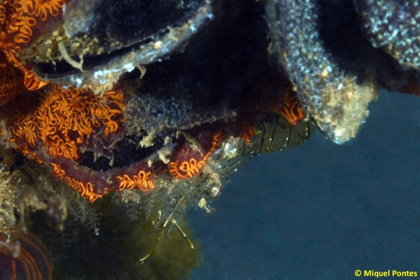 Mytilus galloprovincialis, Branchioma luctuosum i Palaemon elegans