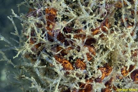 Amathia verticillata sobre Botrylloides diegensis