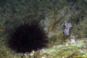 Paracentrotus lividus i Phallusia mamillata