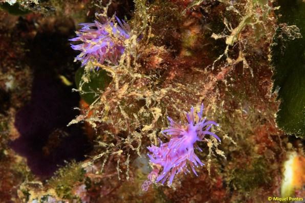 Flabellina affinis con puestas